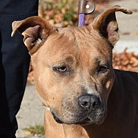 Adopt A Pet :: CALLIE - New Haven, CT
