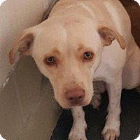 Adopt A Pet :: Tippie - Fort Smith, AR