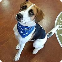 Adopt A Pet :: Beau - Potomac, MD