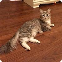 Adopt A Pet :: Coralee - Hockessin, DE