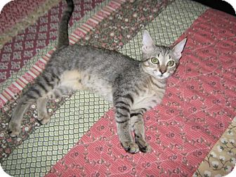 Domestic Shorthair Kitten for adoption in Bonita Springs, Florida - Amelia