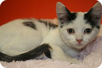 Domestic Shorthair Kitten for adoption in SILVER SPRING, Maryland - FELICIA