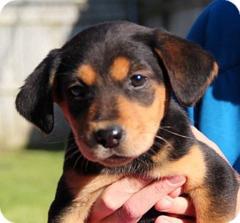 Australian Shepherd Mix Puppy for adoption in Groton, Massachusetts - Brees