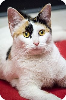 Calico Cat for adoption in Chicago, Illinois - Beignet