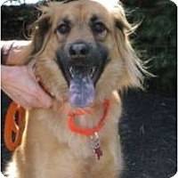 Adopt A Pet :: Fozzie Bear - Warren, NJ