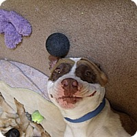 Adopt A Pet :: Blue - Lucerne Valley, CA