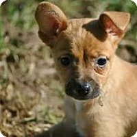 Adopt A Pet :: Katniss - Austin, TX