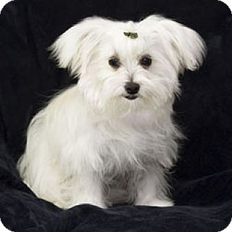 maltese rescue san diego san diego ca maltese meet sally ann a puppy for adoption 5578