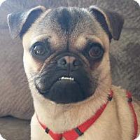 Adopt A Pet :: Teddy - Huntingdon Valley, PA