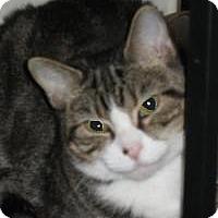 Domestic Shorthair Cat for adoption in Washington, Pennsylvania - Keira