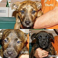 Adopt A Pet :: Mt. Cur/Lab Mix Puppies - Cranford, NJ