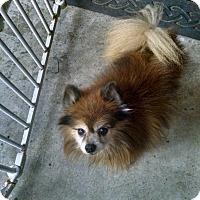 Adopt A Pet :: Kelpie - conroe, TX