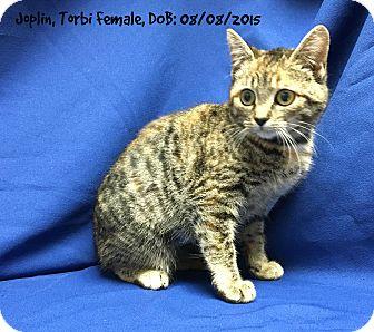 Domestic Shorthair Kitten for adoption in Siler City, North Carolina - Joplin
