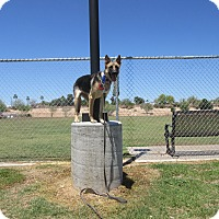 Adopt A Pet :: TRAINED GERMAN SHEPHERD - Phoenix, AZ