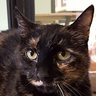 Domestic Shorthair Cat for adoption in Auburn, California - Starfire