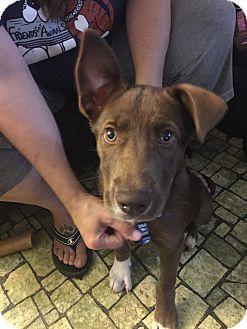 Labrador Retriever Mix Puppy for adoption in Brattleboro, Vermont - Lucky