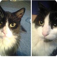 Domestic Shorthair Cat for adoption in Walworth, New York - Kurt & Rocky