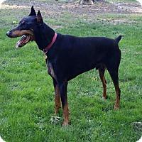 Adopt A Pet :: Brodie - Bristolville, OH