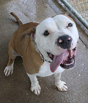 Bulldog Dog for adoption in Fort Madison, Iowa - Possum