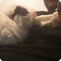 Adopt A Pet :: Pig Pig - Lancaster, CA