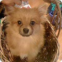 Pomeranian/Chihuahua Mix Puppy for adoption in West Bloomfield, Michigan - KAYE