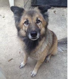 German Shepherd Dog/Border Collie Mix Dog for adoption in San Antonio, Texas - Roxxie