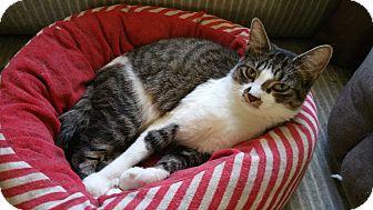 American Shorthair Cat for adoption in Sharon Center, Ohio - Gloria