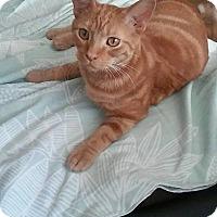 American Shorthair Kitten for adoption in Hoffman Estates, Illinois - Tommy
