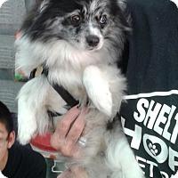 Adopt A Pet :: Grace - Thousand Oaks, CA