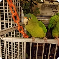 Adopt A Pet :: Wiggly - St. Louis, MO