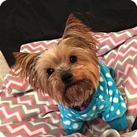 Adopt A Pet :: Carina - Sinking Spring, PA