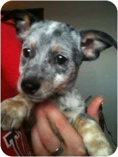 rat terrier australian cattle dog mix jack adopted puppy verona nj australian cattle dog 2574