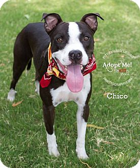 Pit Bull Terrier Mix Dog for adoption in Gilbert, Arizona - Chico