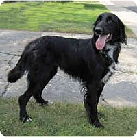 Adopt A Pet :: Desi - DeKalb, IL