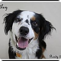 Adopt A Pet :: Bentley - Rockwall, TX