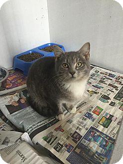 Domestic Shorthair Kitten for adoption in Bishopville, South Carolina - Zelda
