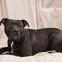 Adopt A Pet :: Dynamite Staffy Boxer - St. Louis, MO