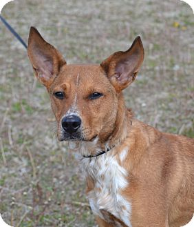 Australian Cattle Dog Mix Dog for adoption in Larned, Kansas - Cletus