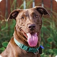 Labrador Retriever/Vizsla Mix Dog for adoption in Columbia, Illinois - Hannah