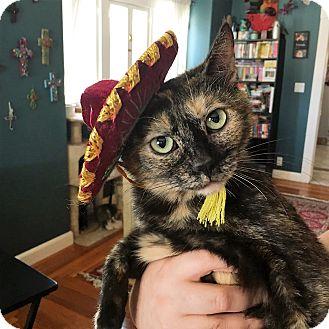 Domestic Shorthair Cat for adoption in Santa Ana, California - Amia (loves belly rubs!)