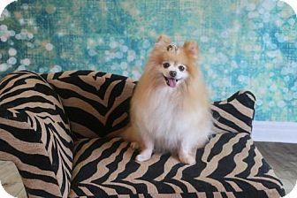 Pomeranian Dog for adoption in Dallas, Texas - FiFi