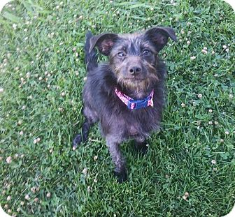 Terrier (Unknown Type, Small) Mix Dog for adoption in Concord, California - Bella