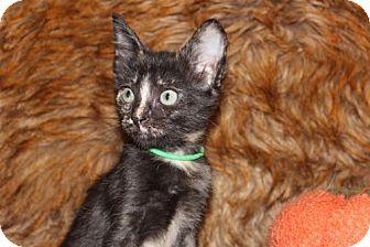 Domestic Shorthair Kitten for adoption in Las Vegas, Nevada - Thanksgiving: Mayflower