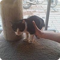 Adopt A Pet :: Socks - Palmdale, CA