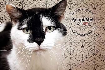 Domestic Shorthair Cat for adoption in Belton, Missouri - Piper Sue