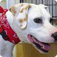 Dalmatian Dog for adoption in Glenwood, Minnesota - Napoleon