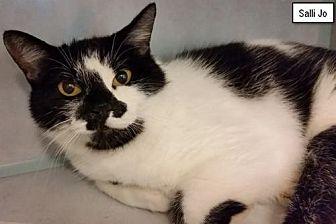 Domestic Shorthair Cat for adoption in Lakewood, Colorado - Salli Jo