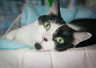 Domestic Shorthair Cat for adoption in New York, New York - Geraldine