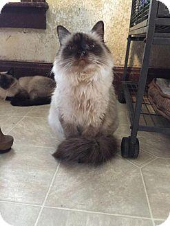 Himalayan Cat for adoption in Grand Ledge, Michigan - Haleigha