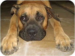 Boxer Mastiff Mix For Sale Mastiff/boxer mix dog for
